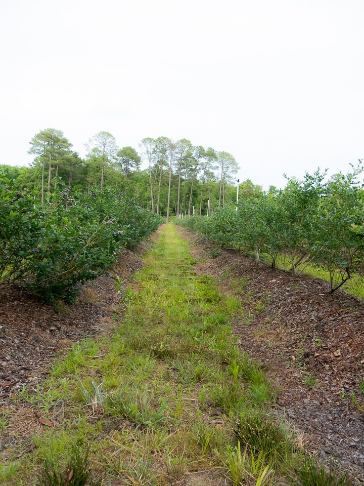 HNH Blueberry Farm Bethany Walter Photography for St Augustine Social
