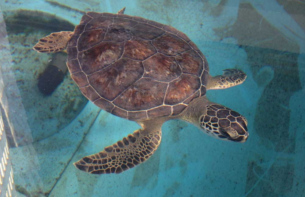 Micklers-the-turtle-st-augustine