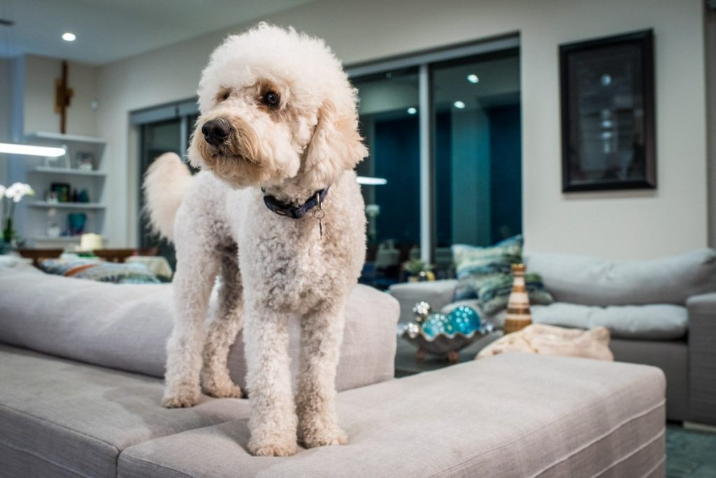 bailey the poodle enjoys her st augustine waterfront home