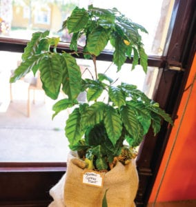 Kenyan Coffee Plant