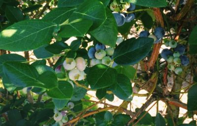 blueberry picking near st. augustine
