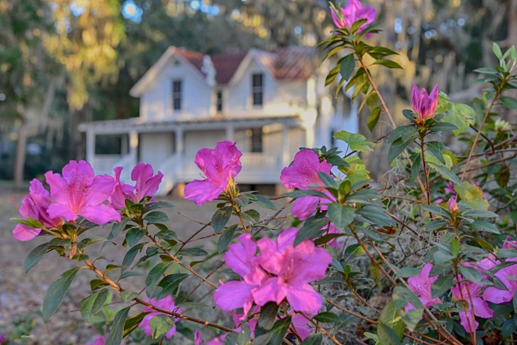 azaleas in front of the homestead at alpine groves park