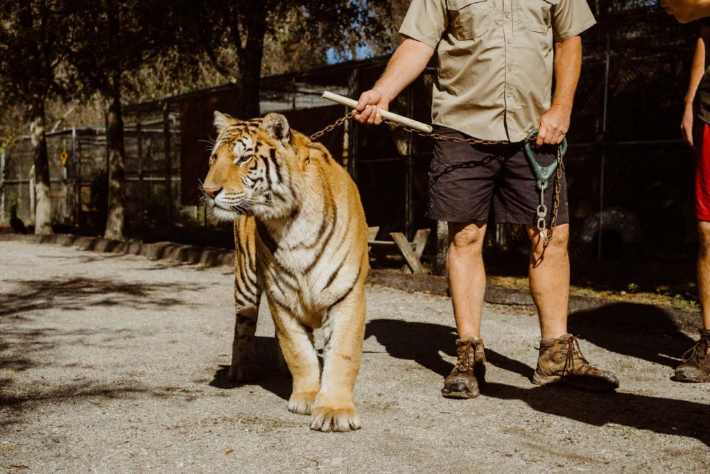 a tiger at the st augustine wild reserve goes on a walk